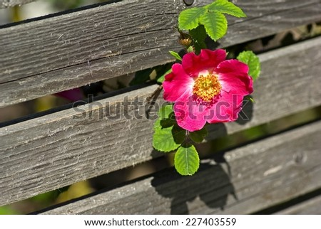 Twig with pink dogrose and green leaves hanging in front of gray plank.