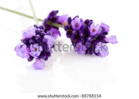 Twigs of lavender in closeup over white background