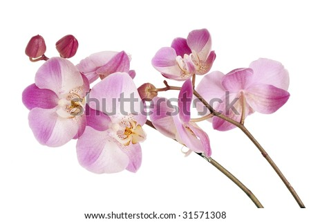 twigs of pink orchid