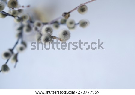 Twigs of pussy willow, soft focus - stock photo