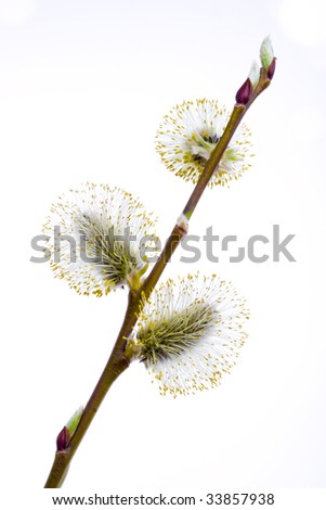 Twigs of willow with catkins on a white background - stock photo