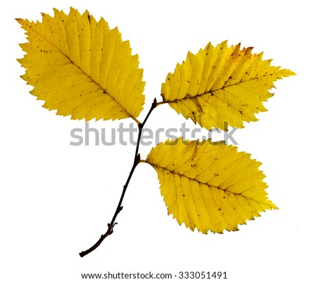 Twigs with colorful leaves of a beech tree, studio isolated on pure white - stock photo
