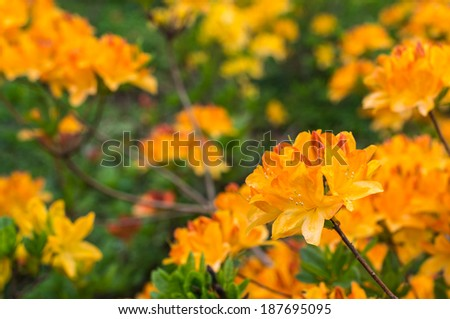 Twigs with orange and yellow colored blossoms of a Japanese Azalea or Rhododendron molle subsp. japonicum shrub in a park. - stock photo