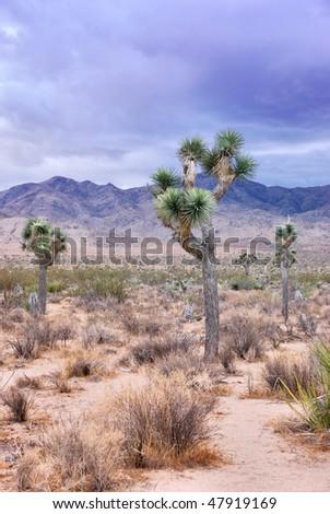 Twilight in Joshua Tree national park in California - stock photo