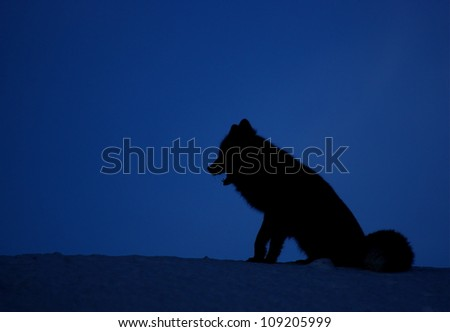 Twilight Silhouette of a Cascade Fox, an alpine subspecies of the Red Fox, at Mount Rainier National Park, Washington; Pacific Northwest wildlife / animal / nature / outdoors / recreation - stock photo