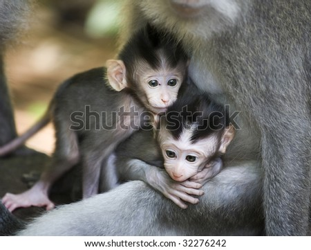 twin baby monkey sacred monkey forest ubud bali indonesia