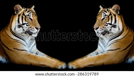 Twin beautiful tiger face to face isolated on black background - stock photo