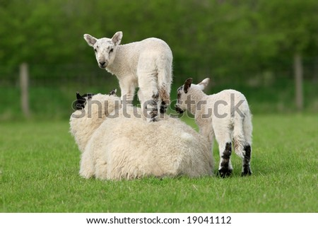 Twin lambs playing in a field spring. One lamb is standing on the back of the mother sheep. - stock photo