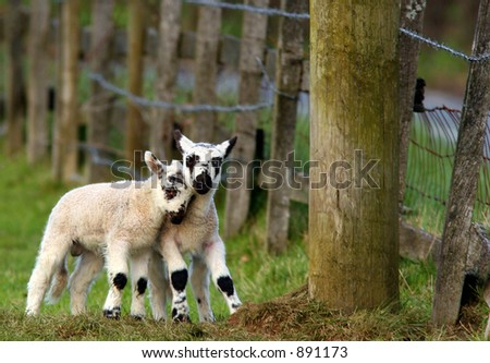 Twin lambs playing together in a field in spring. - stock photo