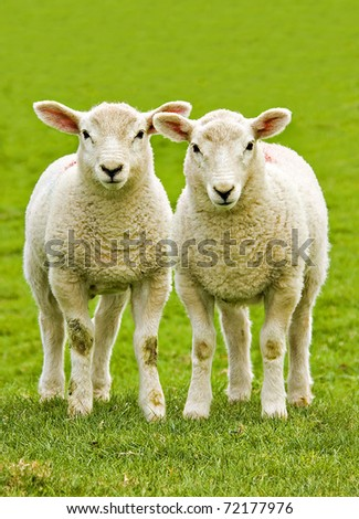 twin lambs watchful of the photographer with plain background as copy space - stock photo
