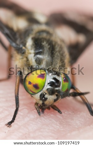 Twin-lobed deerfly (Chrysops relictus) sucking blood from human, macro photo - stock photo