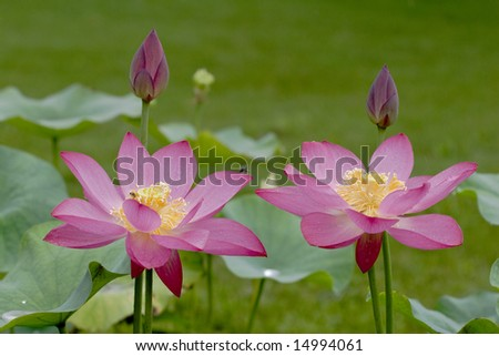 TWIN LOTUS FLOWER.The lotus flowers in the morning after rain.Open lotus blossom with shallow focus.