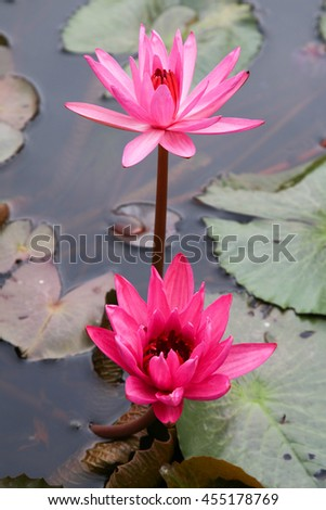 Twin Lotus, Pink Water Lily. - stock photo