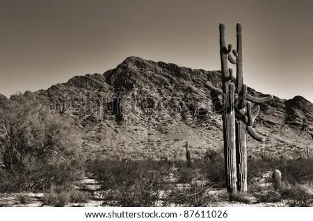 Twin saguaro cacti in the Arizona mountains - stock photo