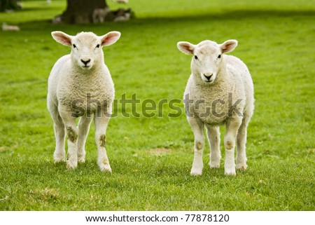 twin spring welsh lambs looking directly into the camera in a nice green rural meadow - stock photo