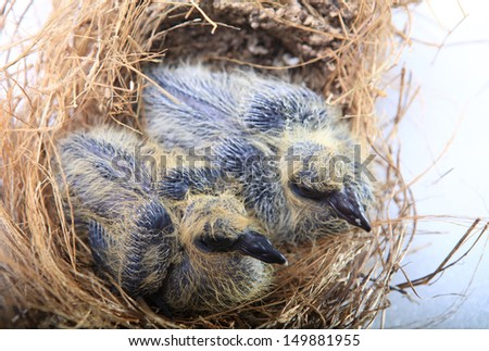 Twin Squab are sleeping in the nest.
