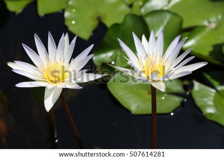 Twin white lotus blooming in a hard sunlight