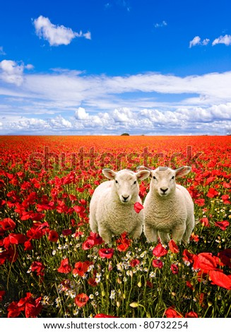 twin young lambs having an adventure by wandering into a field of corn poppies - stock photo