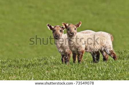 twin young lambs looking directly at the camera with copy space - stock photo