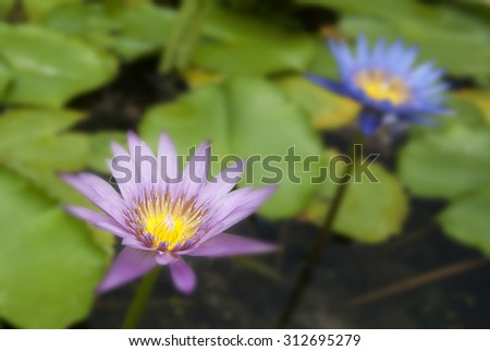 twins lotus Pink and  Purple  flowers