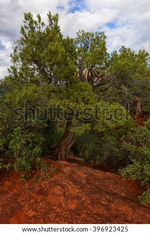Twisted cypress tree at Bell rock vortex in Sedona, Arizona - stock photo