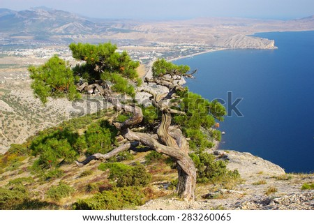 Twisted pine tree against Crimean landscape - stock photo
