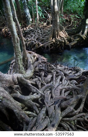 Twisted roots of mangrove trees surround river - stock photo