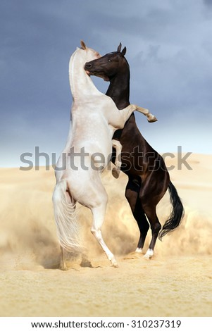 Two achal-teke horses fight on desert dust - stock photo