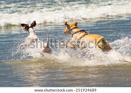 Two active dogs running int the ocean and splashing water - stock photo