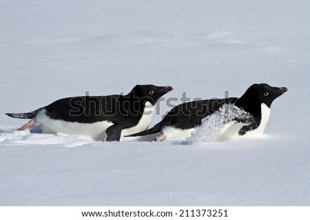 Two Adelie penguin who crawl on their bellies through the snowy plains of Antarctica - stock photo