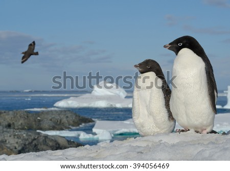 Two Adelie penguins standing on snowy hill, looking at flying skua, with blue sea and iceberg in background, Antarctic Peninsula - stock photo