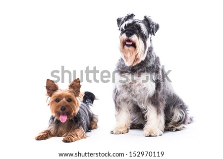 Two adorable alert loyal family dogs, a Yorkshire terrier and a schnauzer, sitting together looking at the camera, isolated on white with copyspace - stock photo