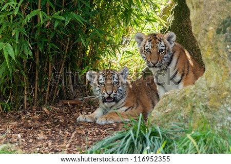Two Adorable Amur Tiger Cubs Hiding in Shelter Panthera Tigris Altaica - stock photo