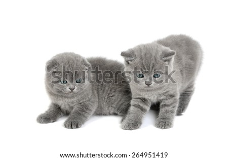 Two adorable british little cats on the white studio shoot - stock photo