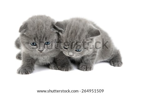 Two adorable british little cats on the white studio shoot