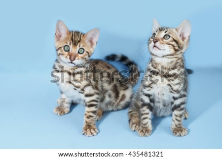 Two adorable  brown spotted bengal kittens on neutral blue background - stock photo