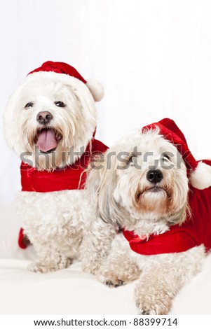 Two adorable coton de tulear dogs wearing santa costumes - stock photo
