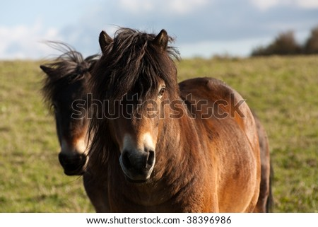 Two Adorable cute brown shaggy Horse's or Ponies in field