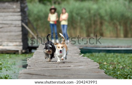 Two adorable dogs running on wooden dock while girls cheering in background - stock photo