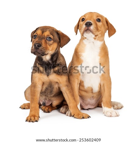 Two adorable eight week old mixed Shepherd breed puppy dogs together - stock photo