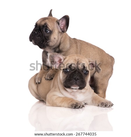 two adorable french bulldog puppies - stock photo