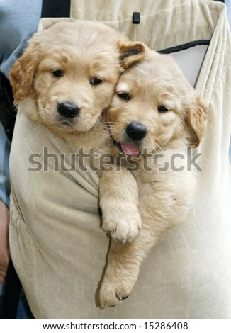 two adorable golden retriever puppies in pouch - stock photo