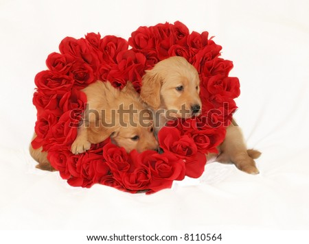 two adorable golden retriever puppies sitting inside heart made of roses - stock photo