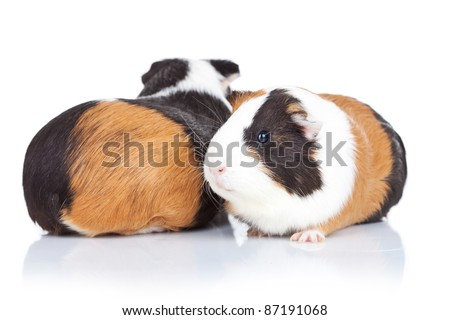 two adorable guinea pigs against white background - stock photo