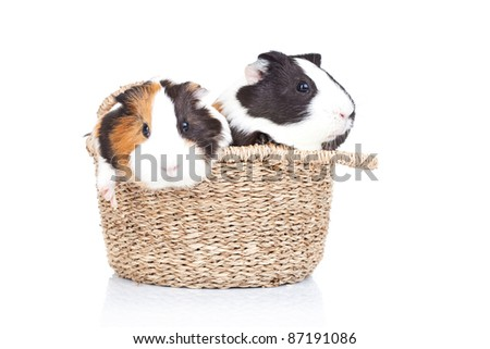 two adorable guinea pigs in a basket against a white background - stock photo