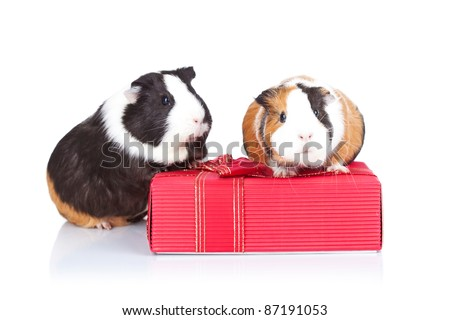 Two adorable guinea pigs sitting on a gift isolated - stock photo