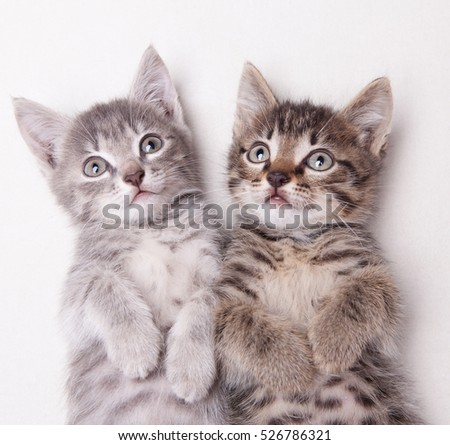 Two adorable kittens lying together looking above the camera  on a white background