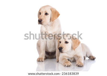 two adorable labrador retriever puppies on white - stock photo