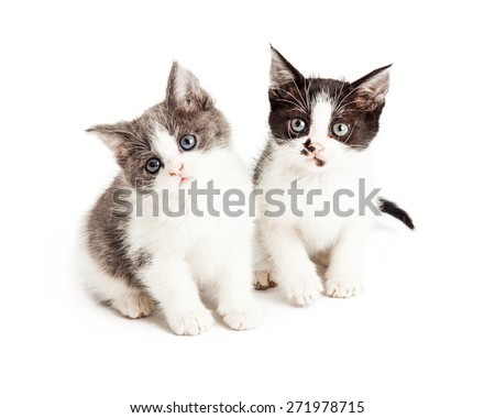 Two adorable little five week old kittens sitting together on a white background and looking forward at the camera - stock photo