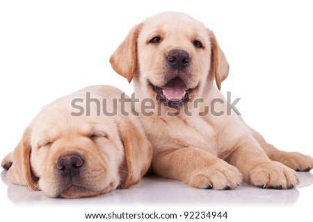 two adorable little labrador retriever puppies, one sleeping and one panting and looking to the camera - stock photo